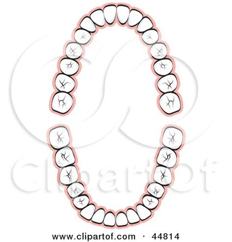 tooth layout diagram