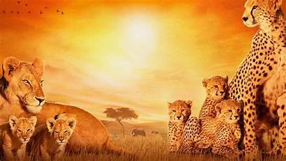 African Animals Cats 4k Wallpapers Cheetah Lion