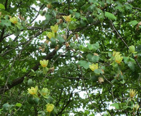 tulip trees fast growing shade trees that make a statement