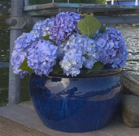 can hydrangeas be grown in pots endless summer hydrangea does it live up to the hype