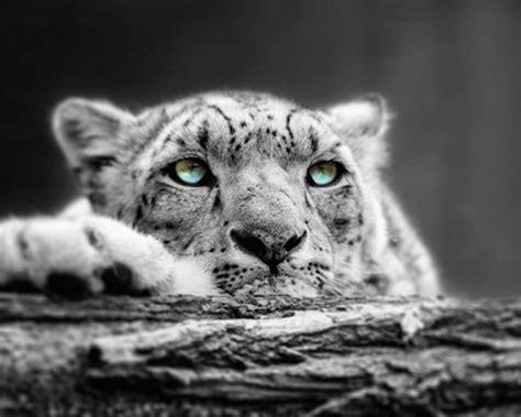 pop  color snow leopard eyes fine art print  color