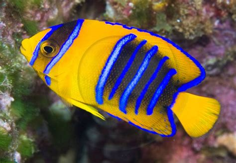 classic blue reef photography   rare fish lovers wet