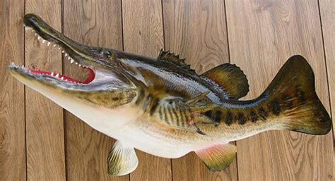 wordless wednesday voracious florida gator fish discovered