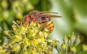 Comment Tuer Un Frelon : comment diff rencier gu pe abeille frelon et bourdon ~ Melissatoandfro.com Idées de Décoration