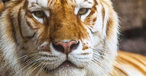 Year Old Tiger Dies Busch Gardens After Sustaining