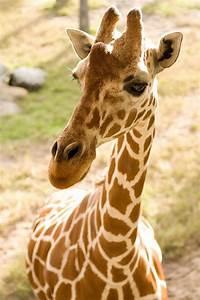 10 Amazing Things About Giraffe Labor And Pregnancy  Giraffe
