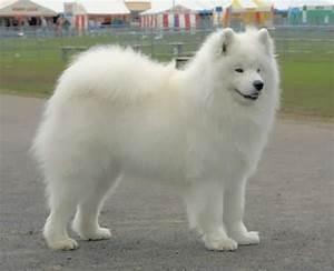 large white dog breeds | Youkaab