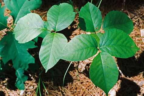 pics of poison know how to identify poison ivy before it s too late
