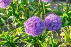 Allium Pflanzen Im Frühjahr : allium pflegen so f hlt sich der zierlauch rundum wohl ~ Yasmunasinghe.com Haus und Dekorationen