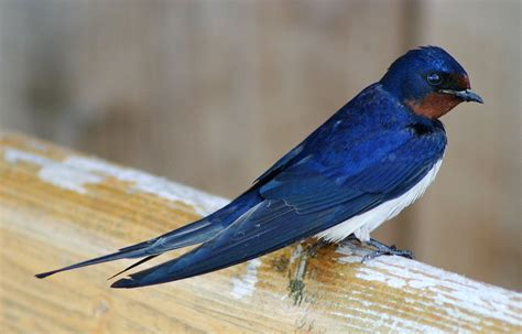 barn swallow wikipedia