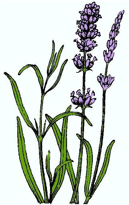 Lavender Clipart Clip Flower Oil Essential Plant