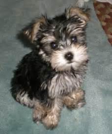 snorkie schnauzer yorkie mix info temperament puppies pictures animals that i