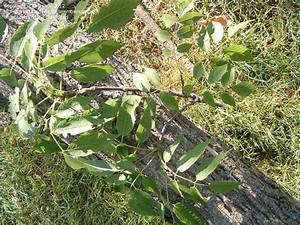Plant Identification: Ash Black Walnut or Butternut tree ...