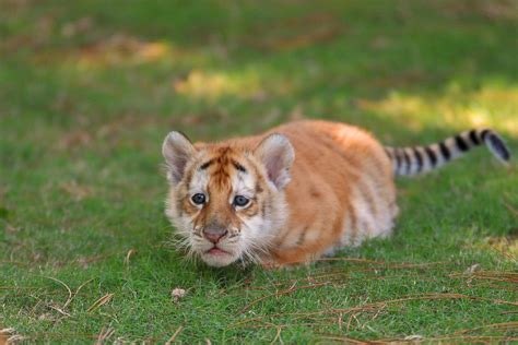Extremely Rare Golden Tabby Bengal Tiger Cub Aww