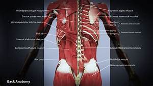 Human Anatomy. Anatomy Of The Back Muscles And Organ ...