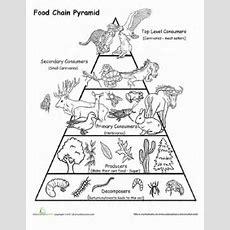 Food Chain Pyramid  Worksheet Educationcom