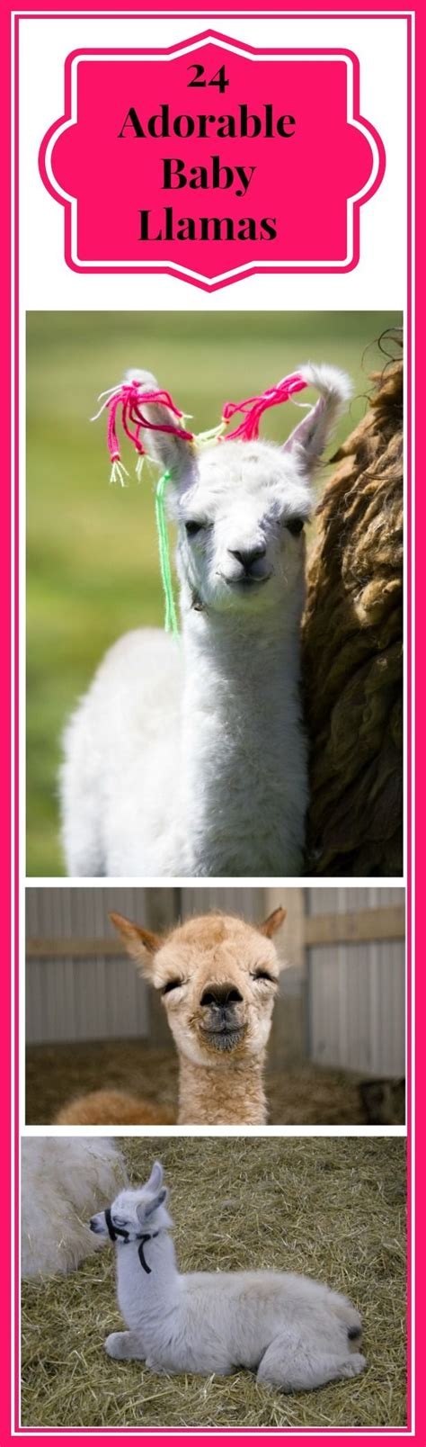 llama facts ideas  pinterest