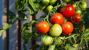 Tomaten Selber Anbauen : tomaten das sommergem se zum selber anbauen ~ Orissabook.com Haus und Dekorationen