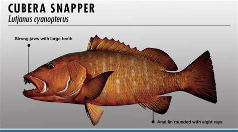 snapper fish identifier fishtrackcom