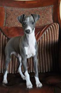 12 reason why you should never own whippets yup