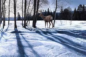 Winter Deer Wallpaper Backgrounds 52DazheW Gallery
