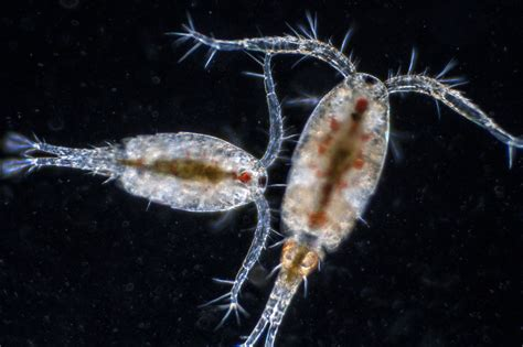 Farm Kitchen Ideas - growing and cultivating amphipods and copepods