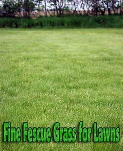 Quiet Corner:Fine Fescue Grass for Lawns - Quiet Corner
