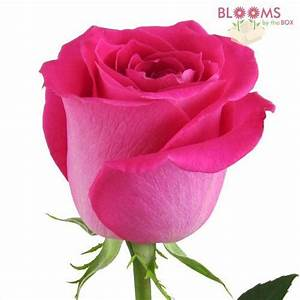 Topaz Hot Pink Rose – Wholesale – Blooms By The Box