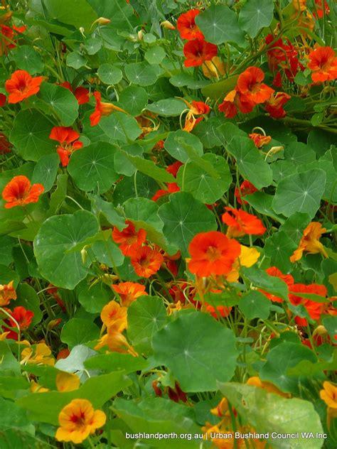 Garden Nasturtium garden nasturtium bushland council wa