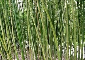 Bambus Als Zimmerpflanze : bambus pflegen bambus pflanzen und pflegen ziergr ser bambus bei hornbach kaufen den bambus ~ Eleganceandgraceweddings.com Haus und Dekorationen