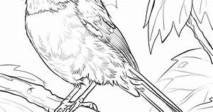 Black Capped Chickadee Coloring Page Free Printable
