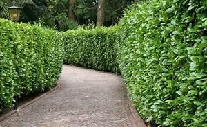 arbuste brise vue sans entretien best paillon dor fin pel With good idee de plantation pour jardin 6 bien choisir les arbustes pour composer une haie fleurie