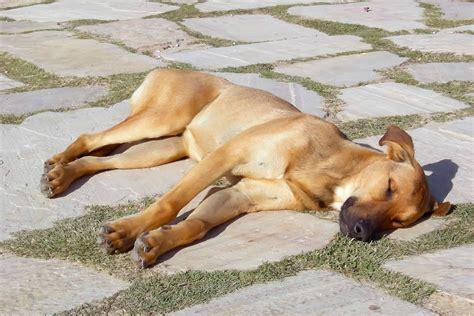 heres   protect  dog  heat stroke