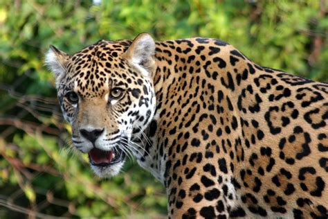 Jaguar Facts And Pictures