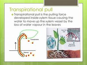 Transpirational pull and transpiration