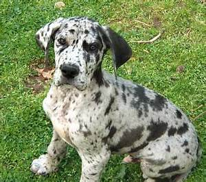 Harlequin Great Dane With Blue Eyes