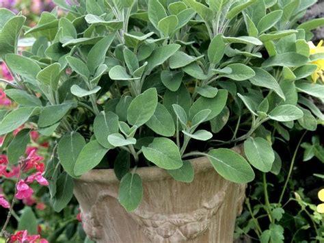 modeles cuisines sauge officinale planter et tailler ooreka