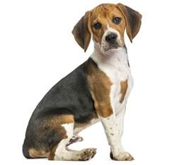 dogs that don t shed dog breeds picture