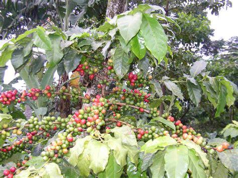 coffee plant guatemala album 2 santo tomas craig blackwell m d opthamology