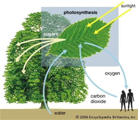 what part of a green do you use sbi3uplantsjan2012 human uses of plants