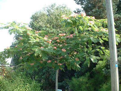 arbre parasol croissance rapide les arbres de petit d 233 veloppement