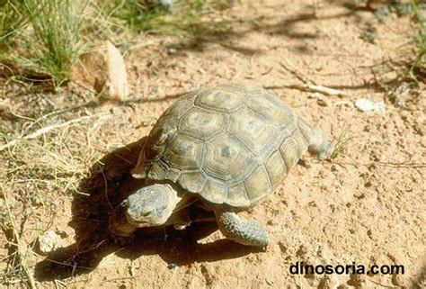 le pour tortue terrestre tortue terrestre tortue de terre en images dinosoria