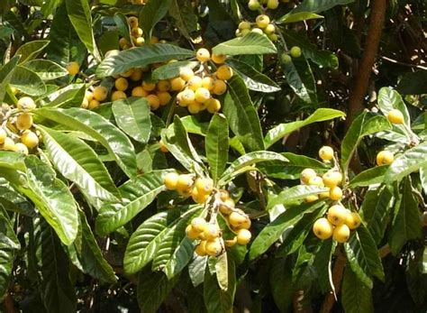 Mysterious Tropical Fruits …in Southern California