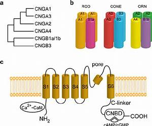 Structure Of Cng Channels  A Phylogenetic Tree Of