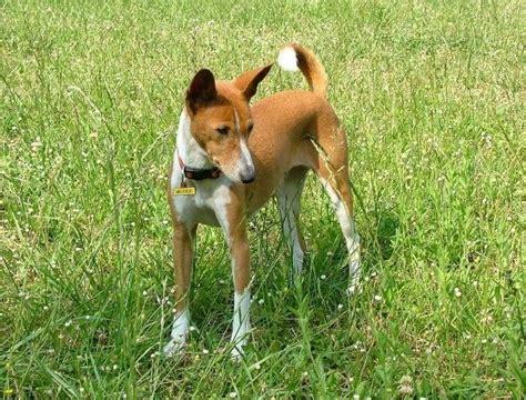 Dogs With Minimal Shedding by Basenji Low Coat Has Minimal Shedding It