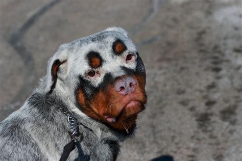 Rottweiler with vitiligo | Canis lupus hominis