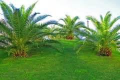 Hanfpalme Braune Blätter : ph nix palme wird braun woran kann 39 s liegen ~ Lizthompson.info Haus und Dekorationen