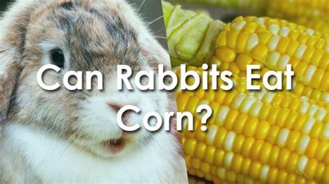 can rabbits eat corn pet consider