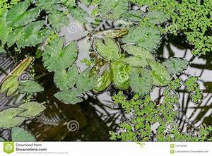 Water Lily Leaf In Pond Stock Photo  Image Of Botany