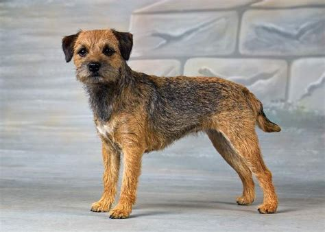 border terrier sculptures dogs border terrier puppy